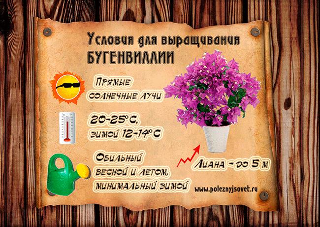 bugenvilia