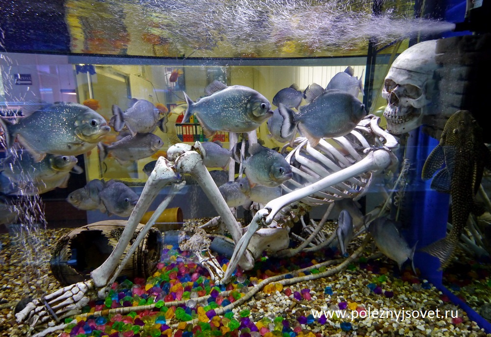 Рыбы травоядные фото