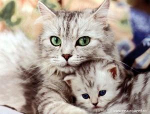Какие бывают инфекционные заболевания у кошек