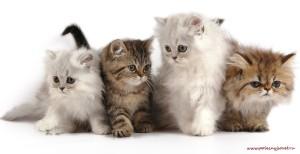 Что делать, если у кошки появились блохи